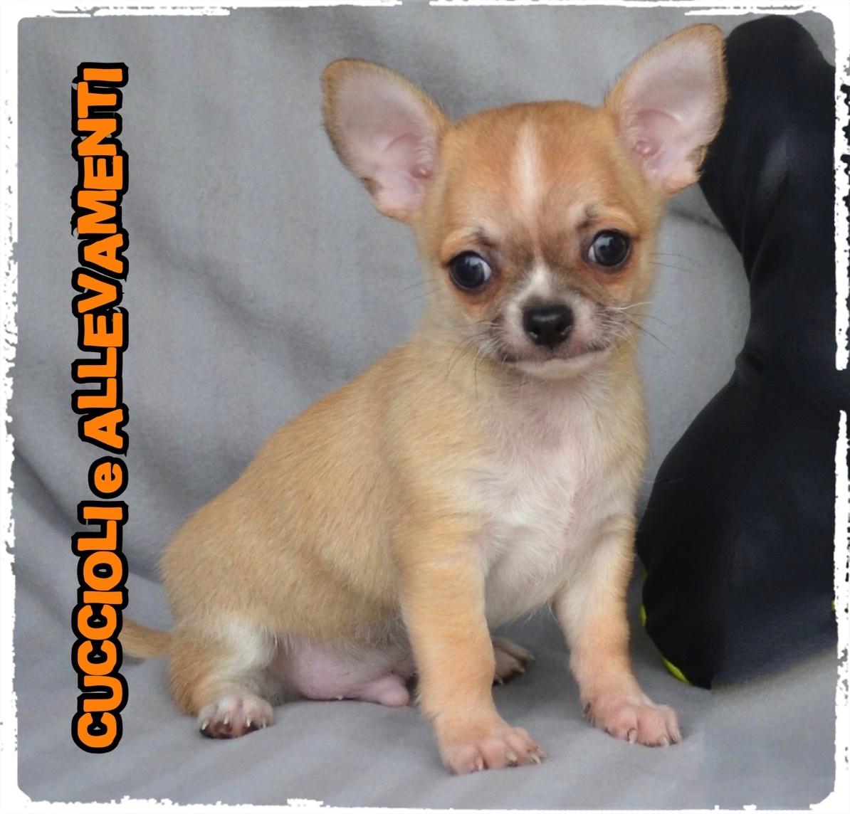 Chihuahua 28_wm