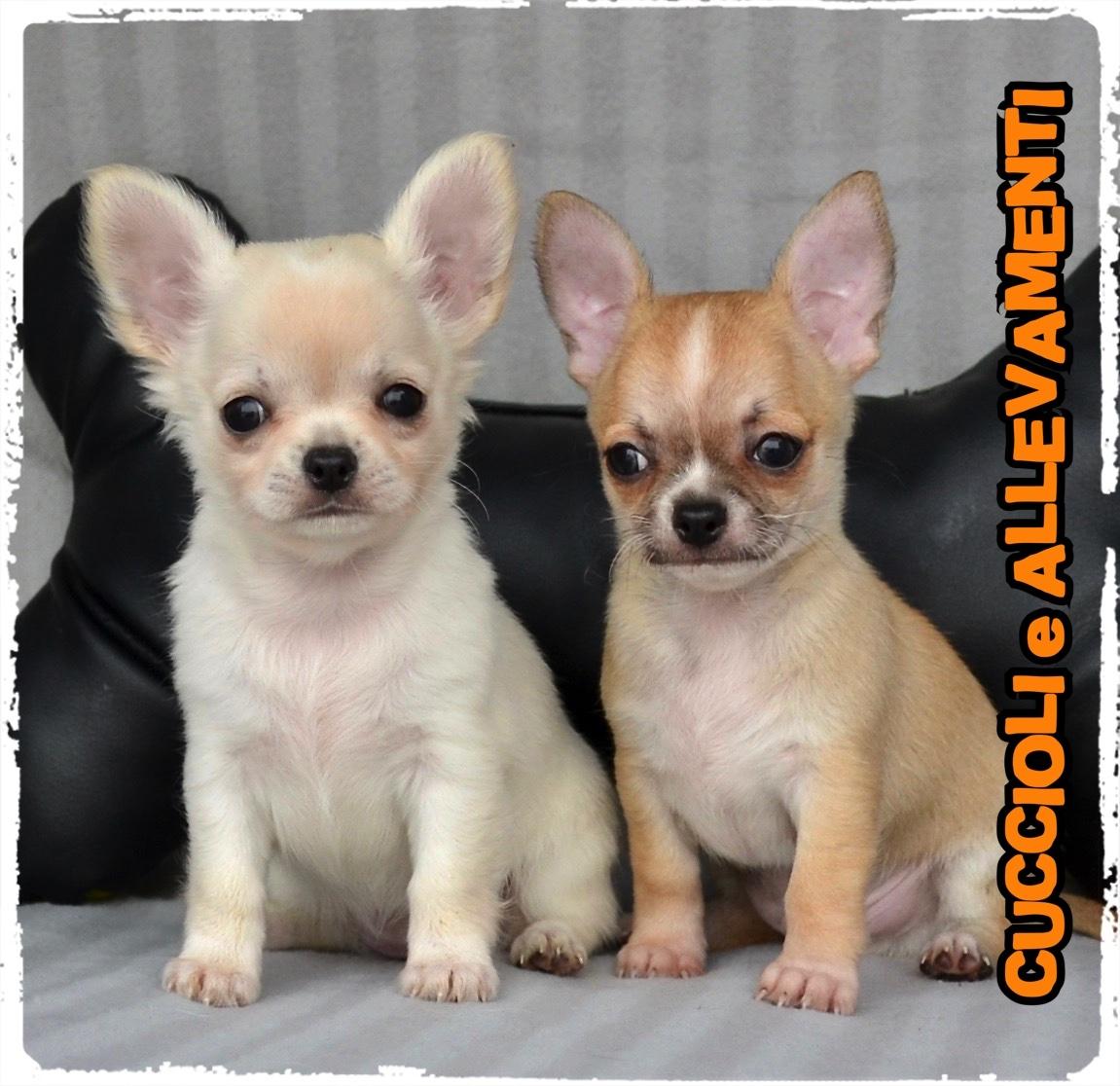 Chihuahua 29_wm