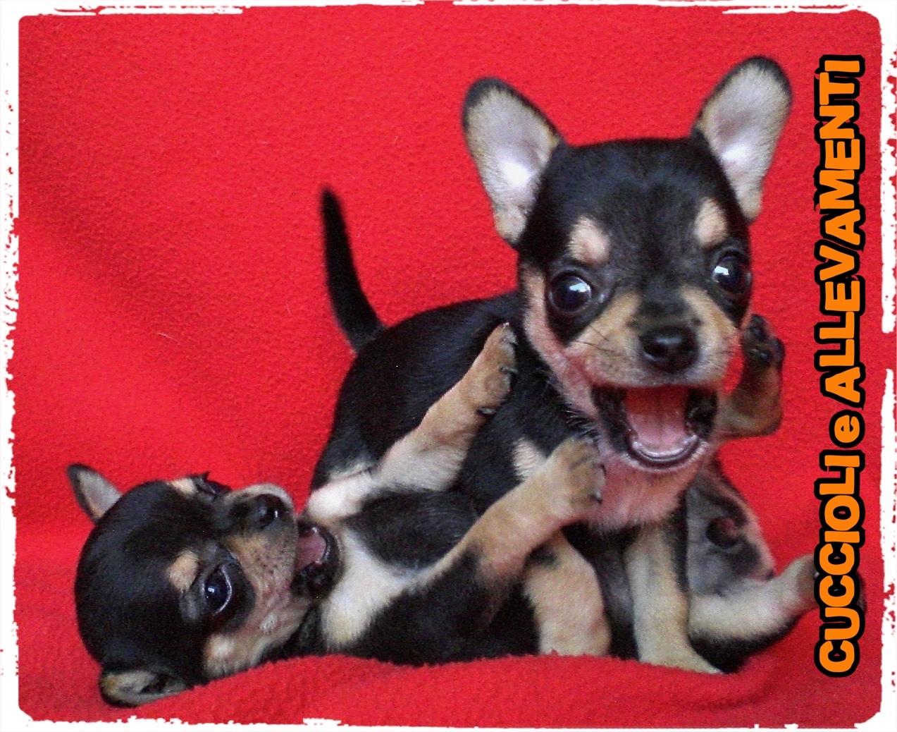 Chihuahua 2_wm