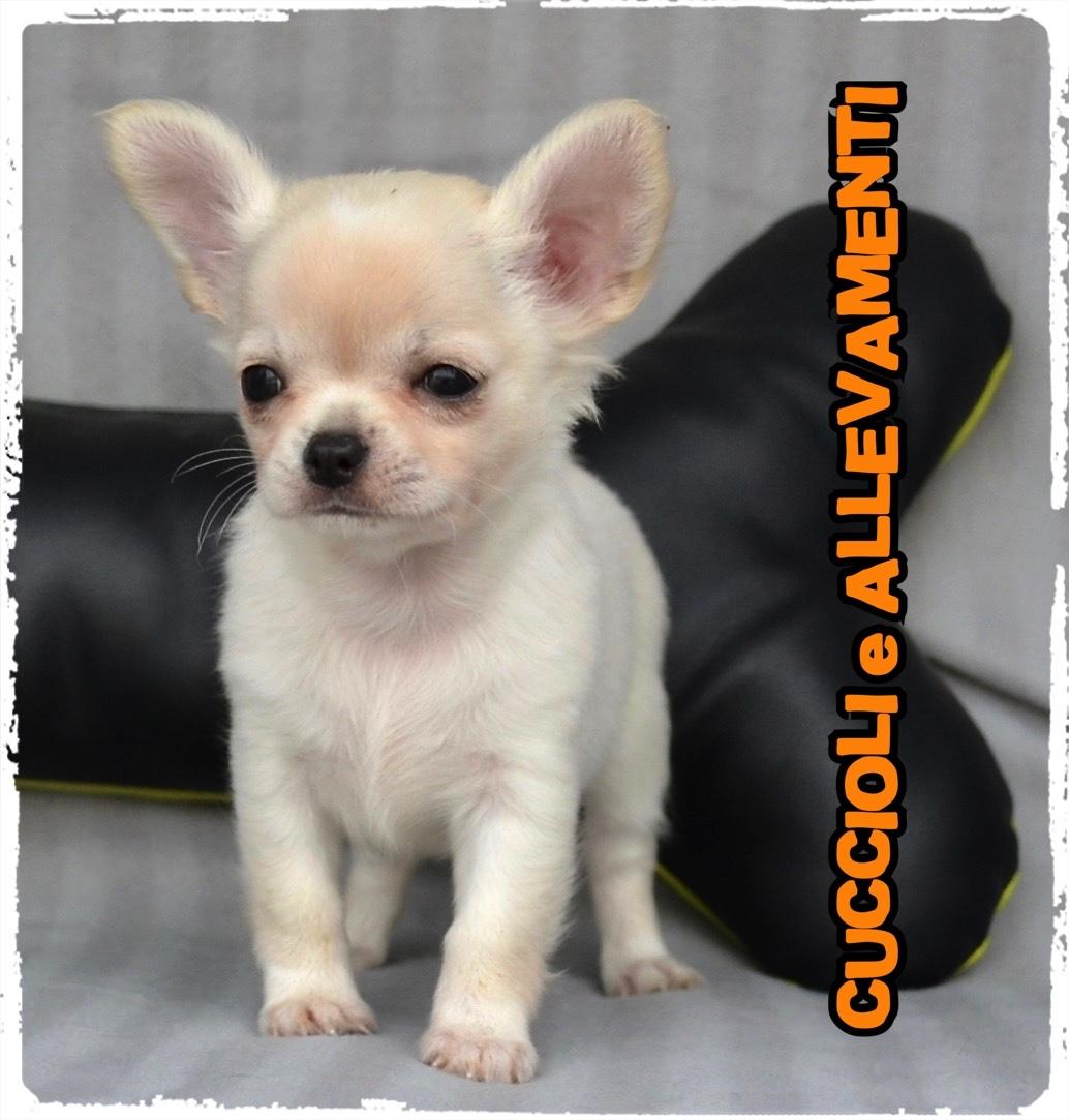 Chihuahua 30_wm
