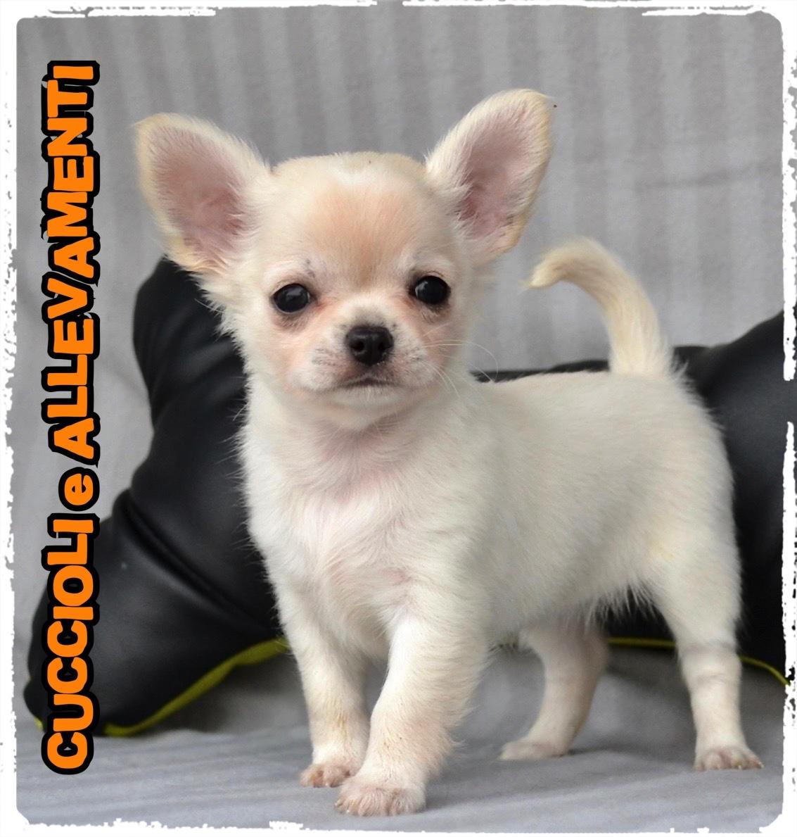 Chihuahua 31_wm