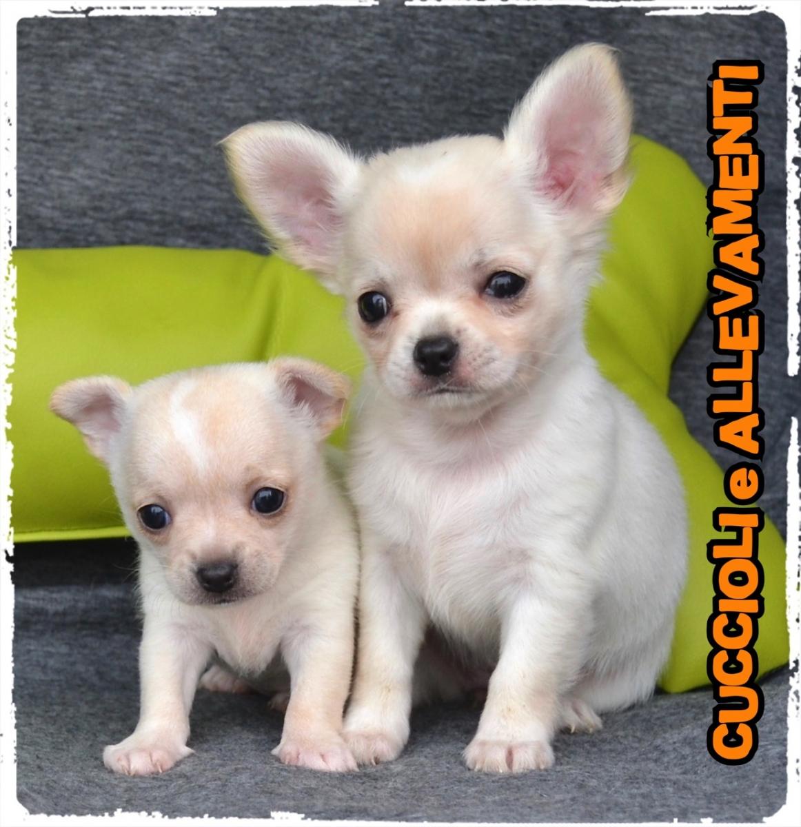 Chihuahua 32_wm