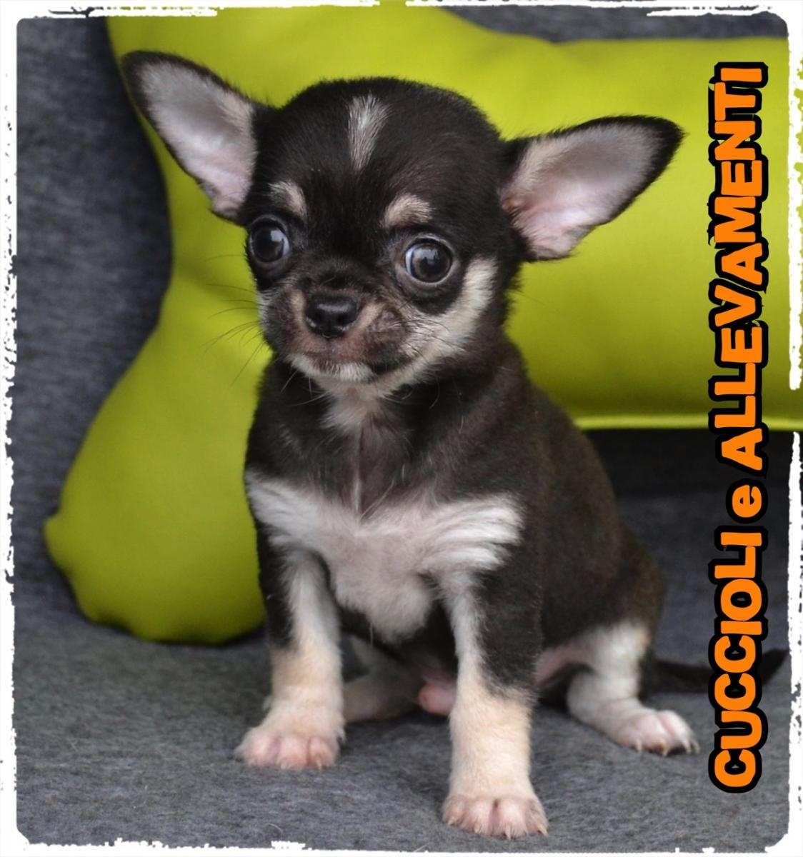 Chihuahua 33_wm