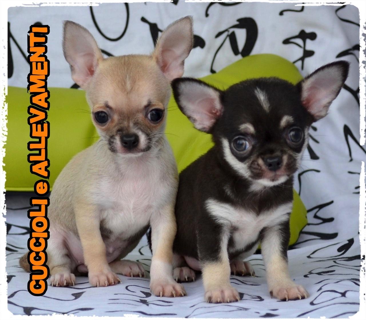 Chihuahua 35_wm