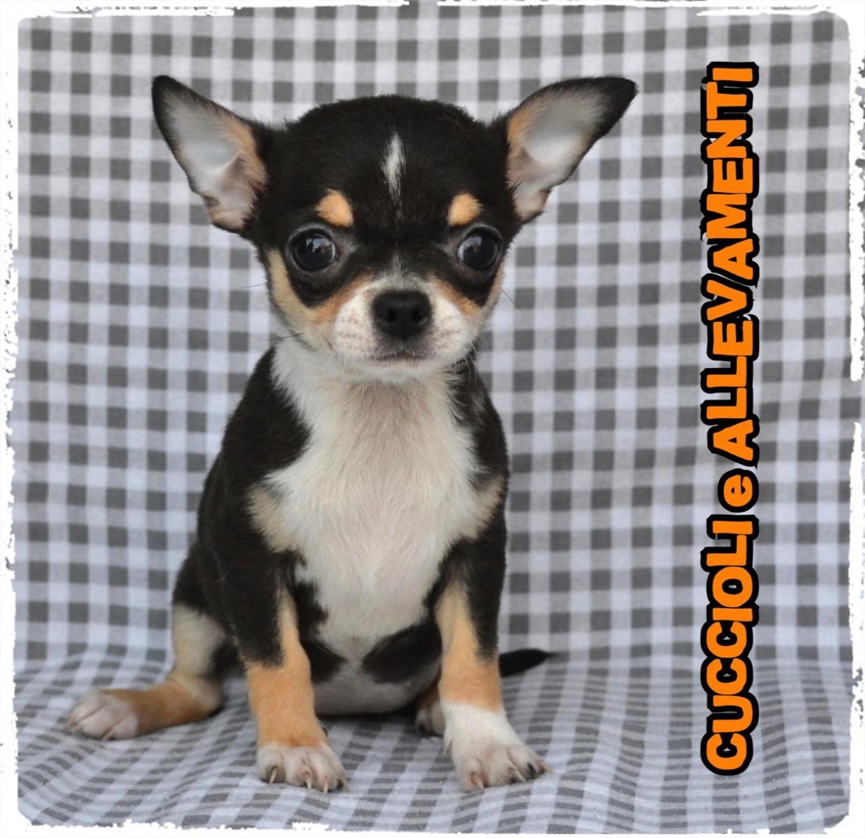 Chihuahua 36_wm