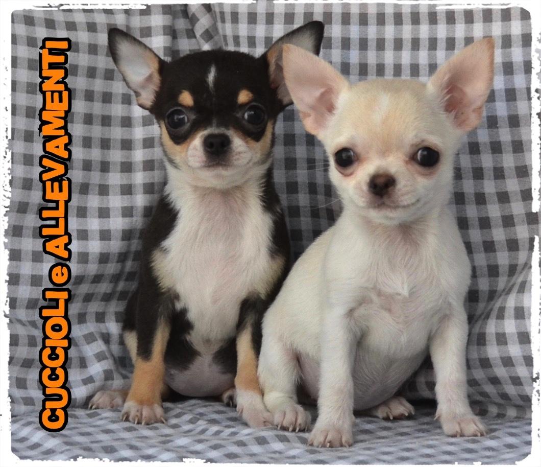 Chihuahua 38_wm