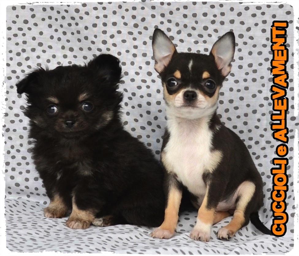 Chihuahua 41_wm