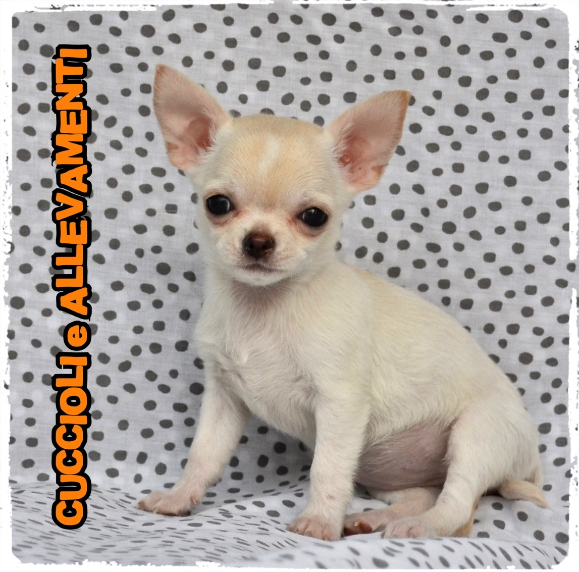 Chihuahua 42_wm