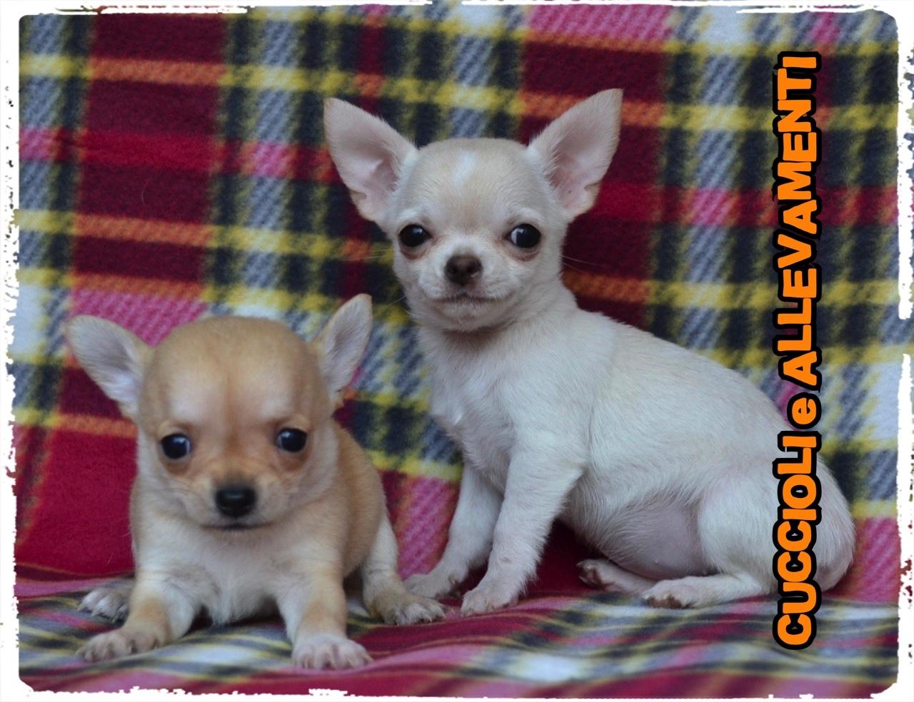 Chihuahua 43_wm