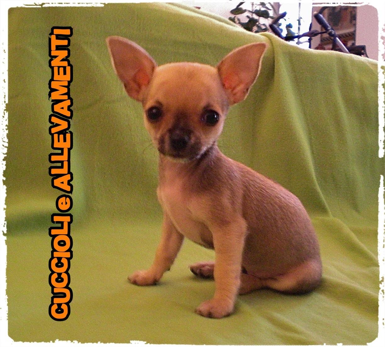 Chihuahua 4_wm