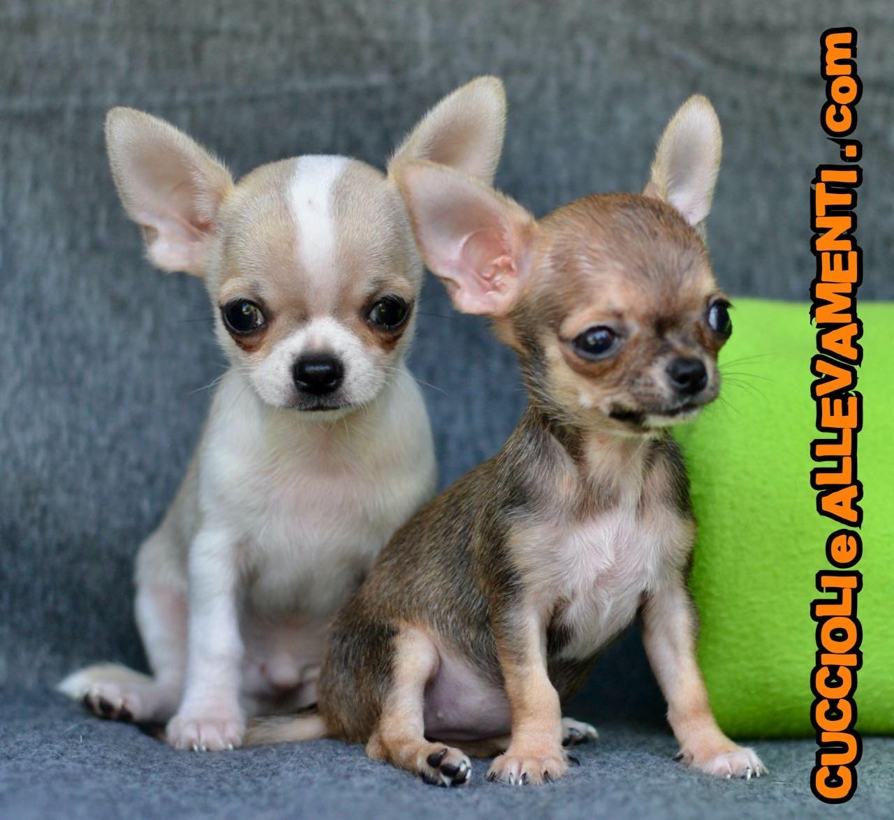 Chihuahua 5_wm
