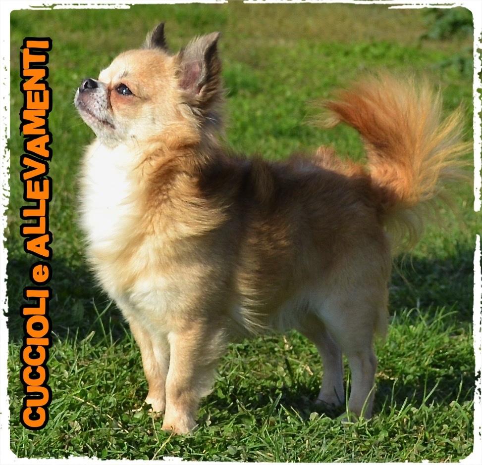 Chihuahua 6_wm