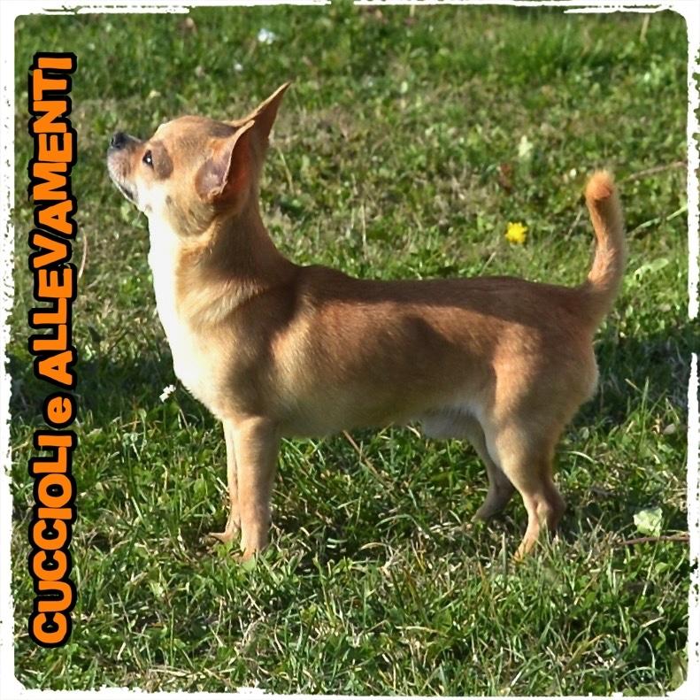 Chihuahua 7_wm