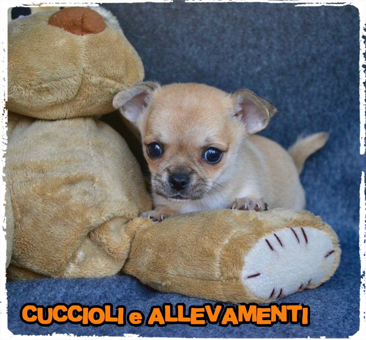 Chihuahua 8_wm