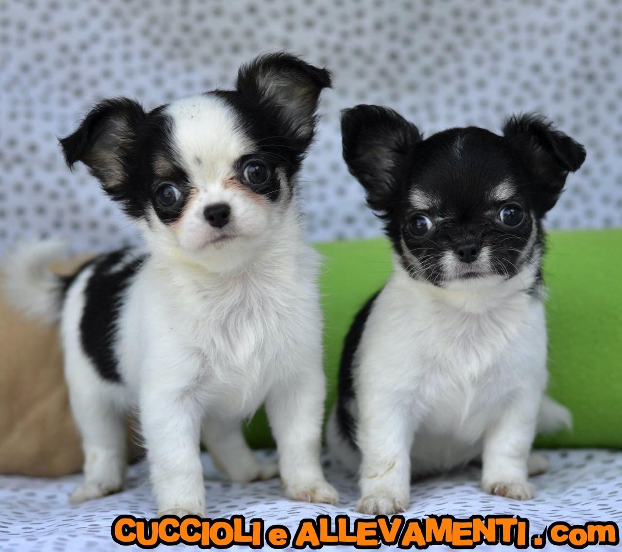 Chihuahua 9_wm
