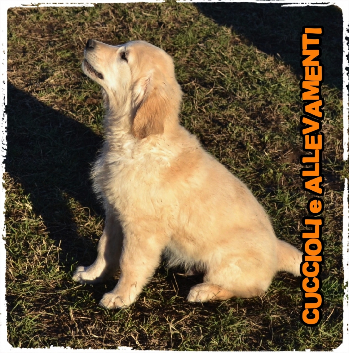 Golden Retriever 12_wm