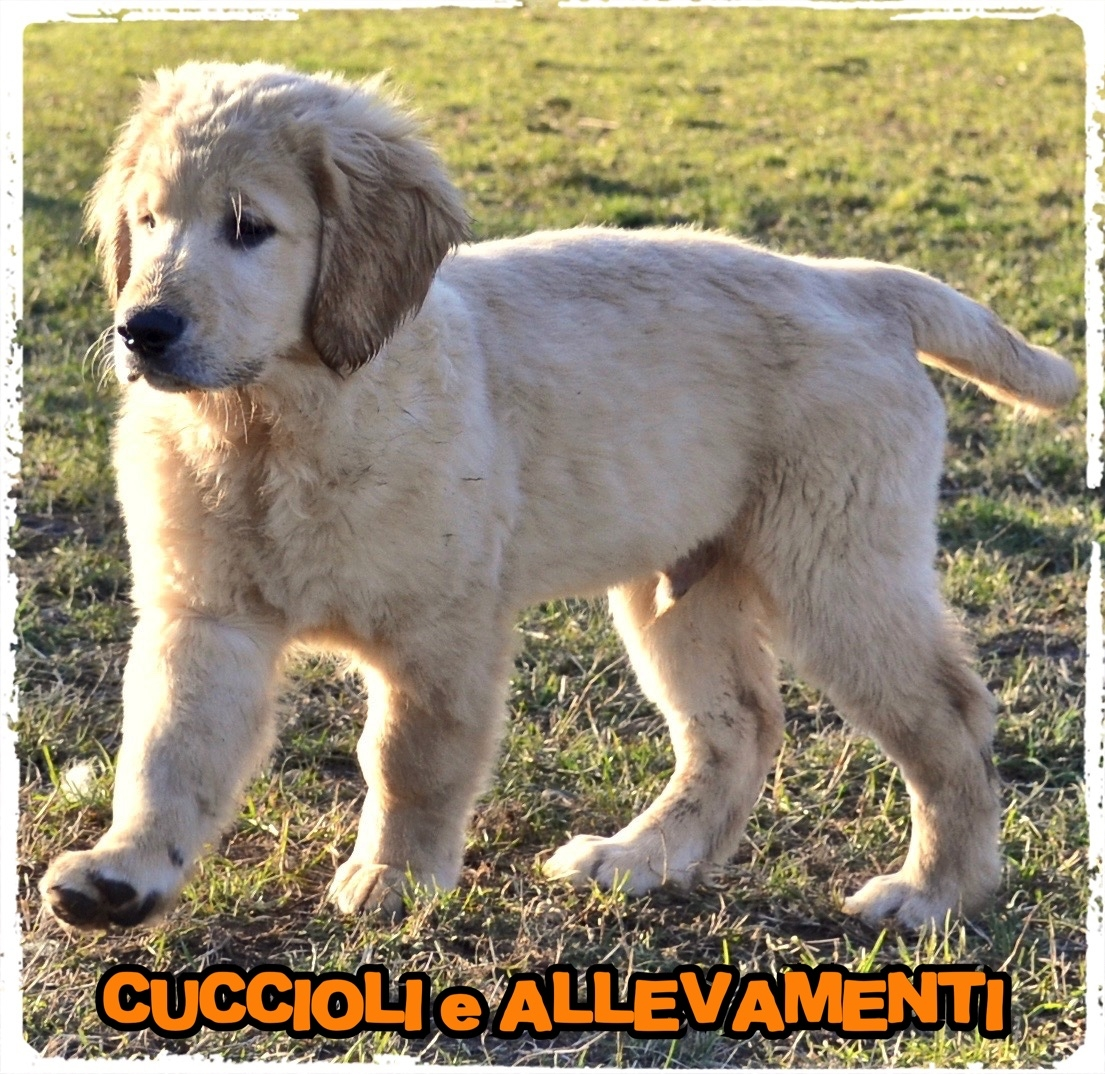 Golden Retriever 14_wm