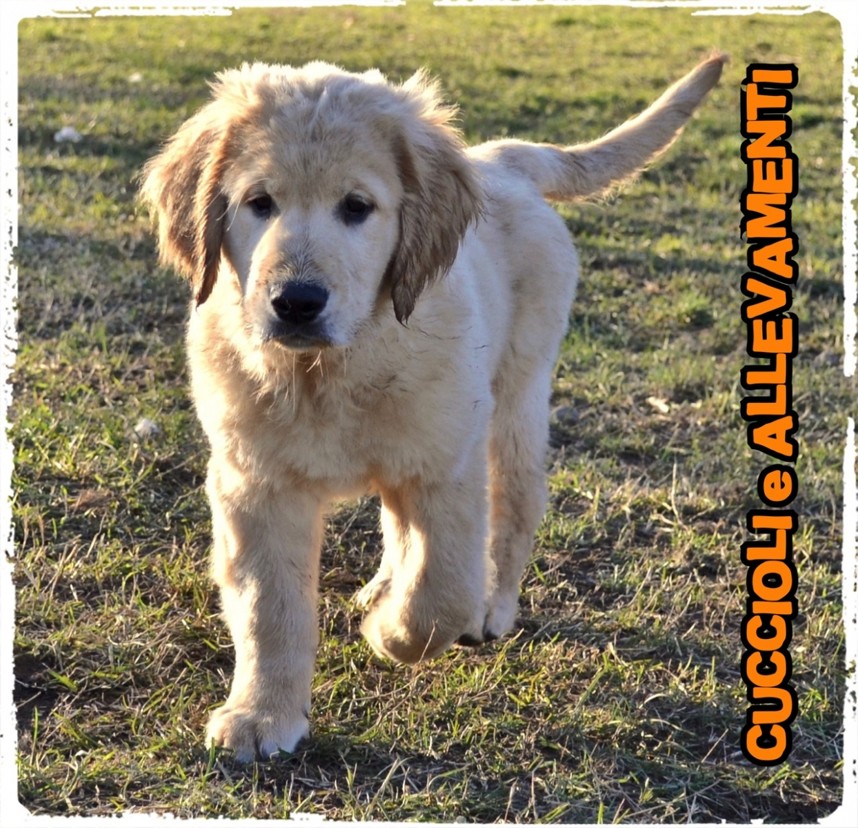 Golden Retriever 15_wm