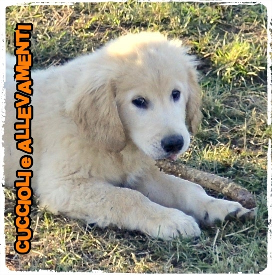 Golden Retriever 17_wm