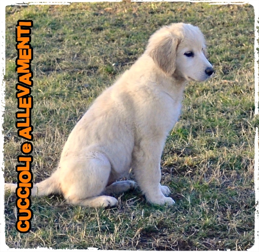 Golden Retriever 18_wm