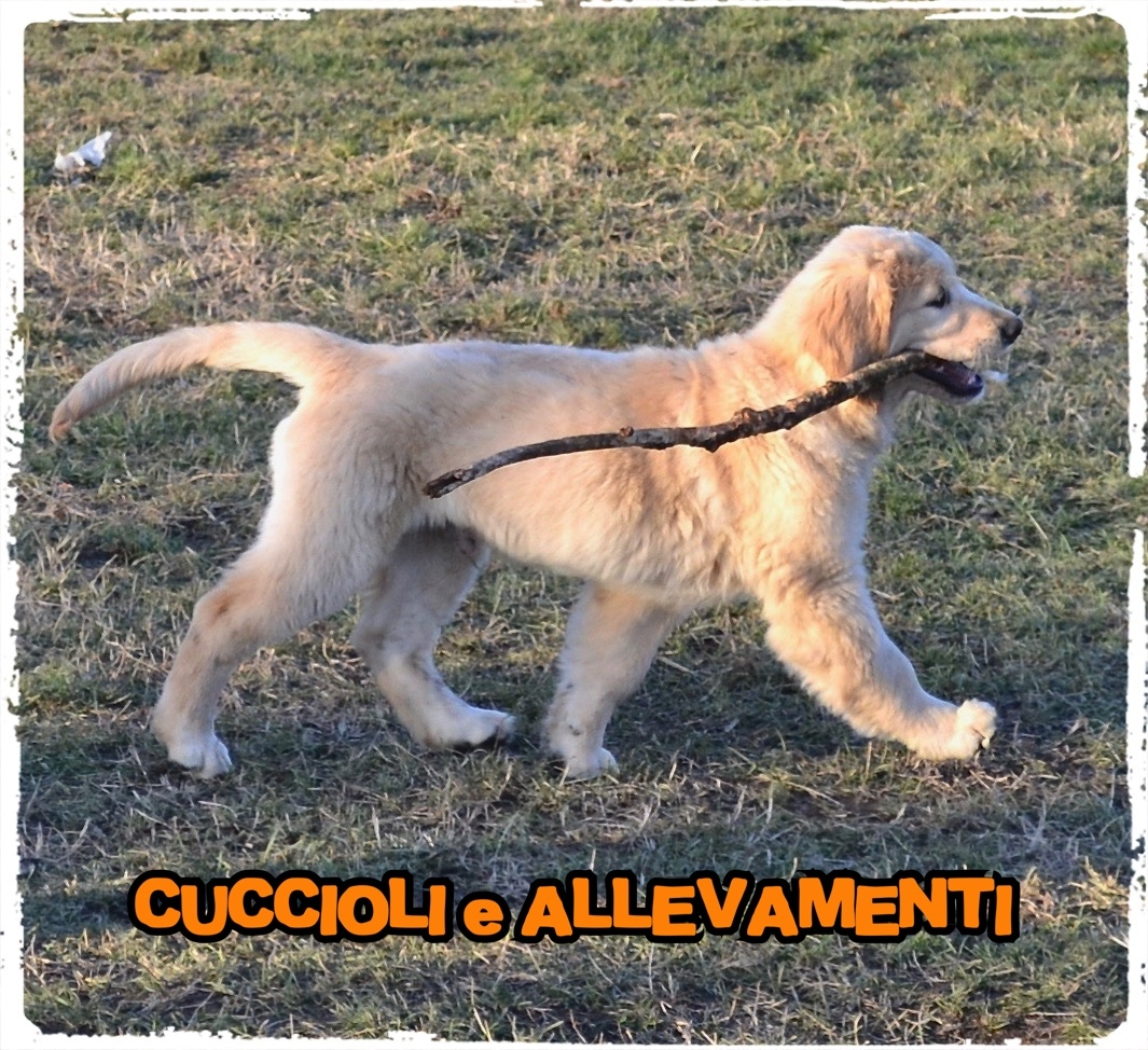 Golden Retriever 19_wm