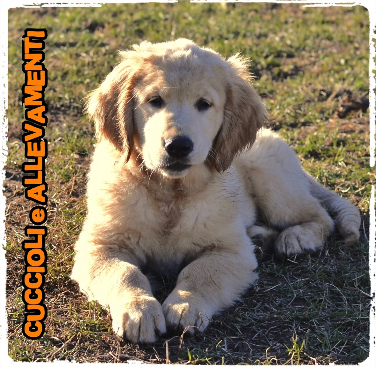 Golden Retriever 1_wm