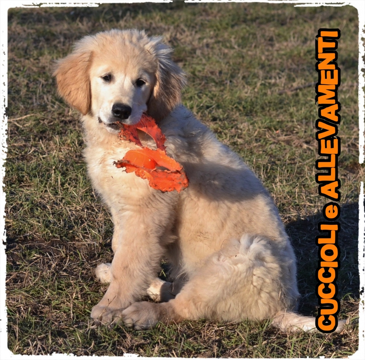 Golden Retriever 6_wm