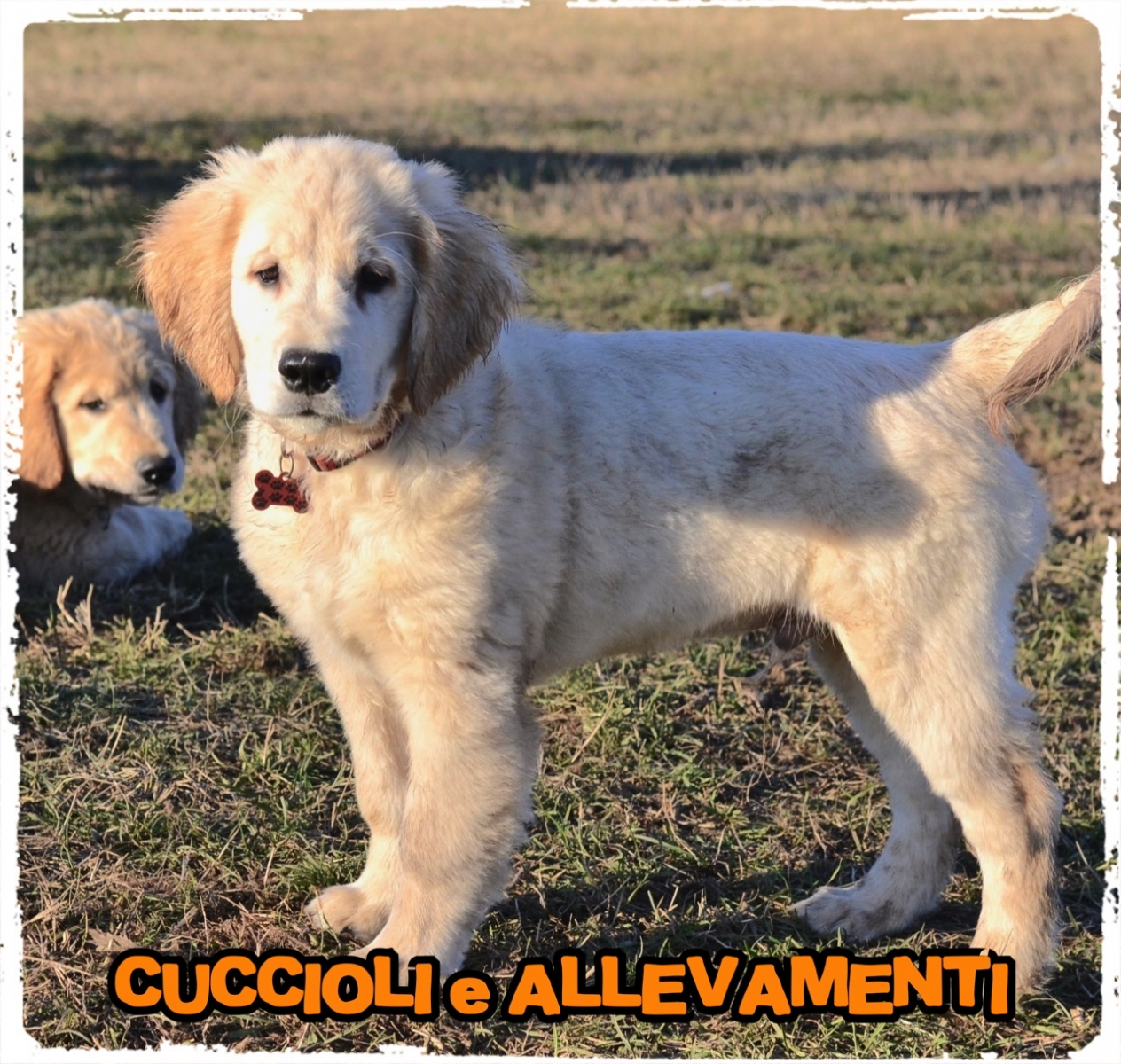 Golden Retriever 8_wm