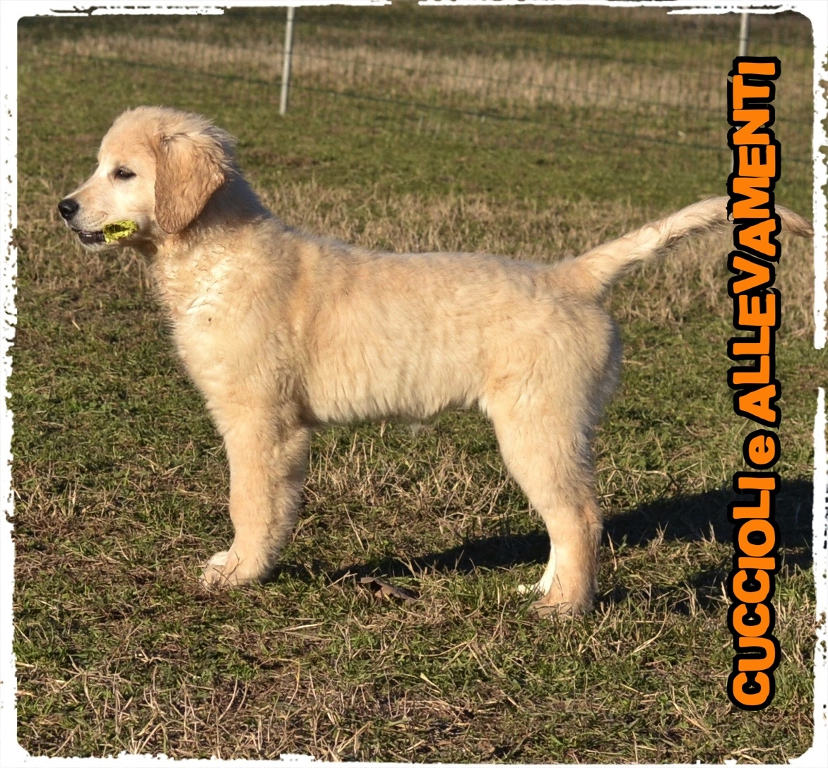 Golden Retriever 9_wm