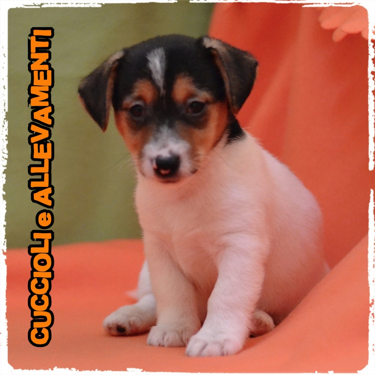 Jack Russell/Russel 11_wm