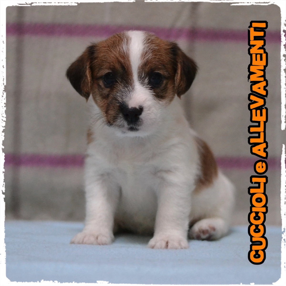 Jack Russell/Russel 12_wm