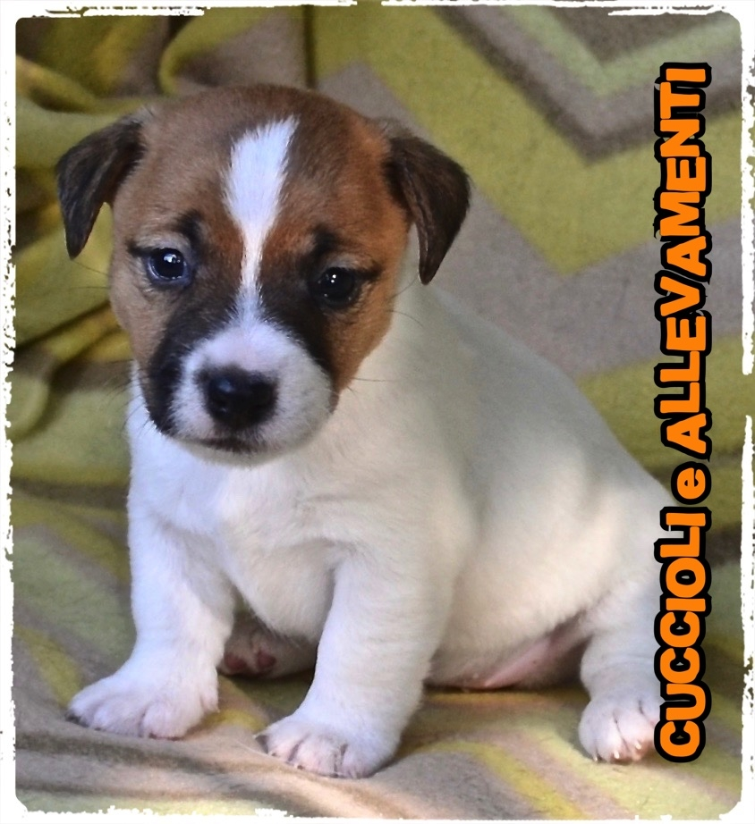 Jack Russell/Russel 18_wm