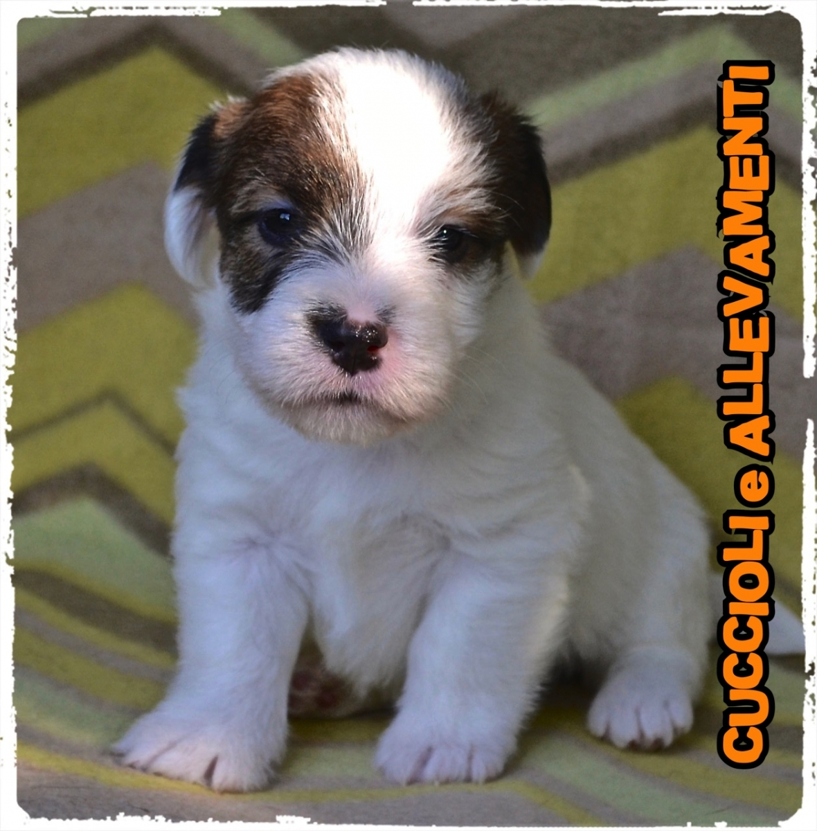 Jack Russell/Russel 19_wm