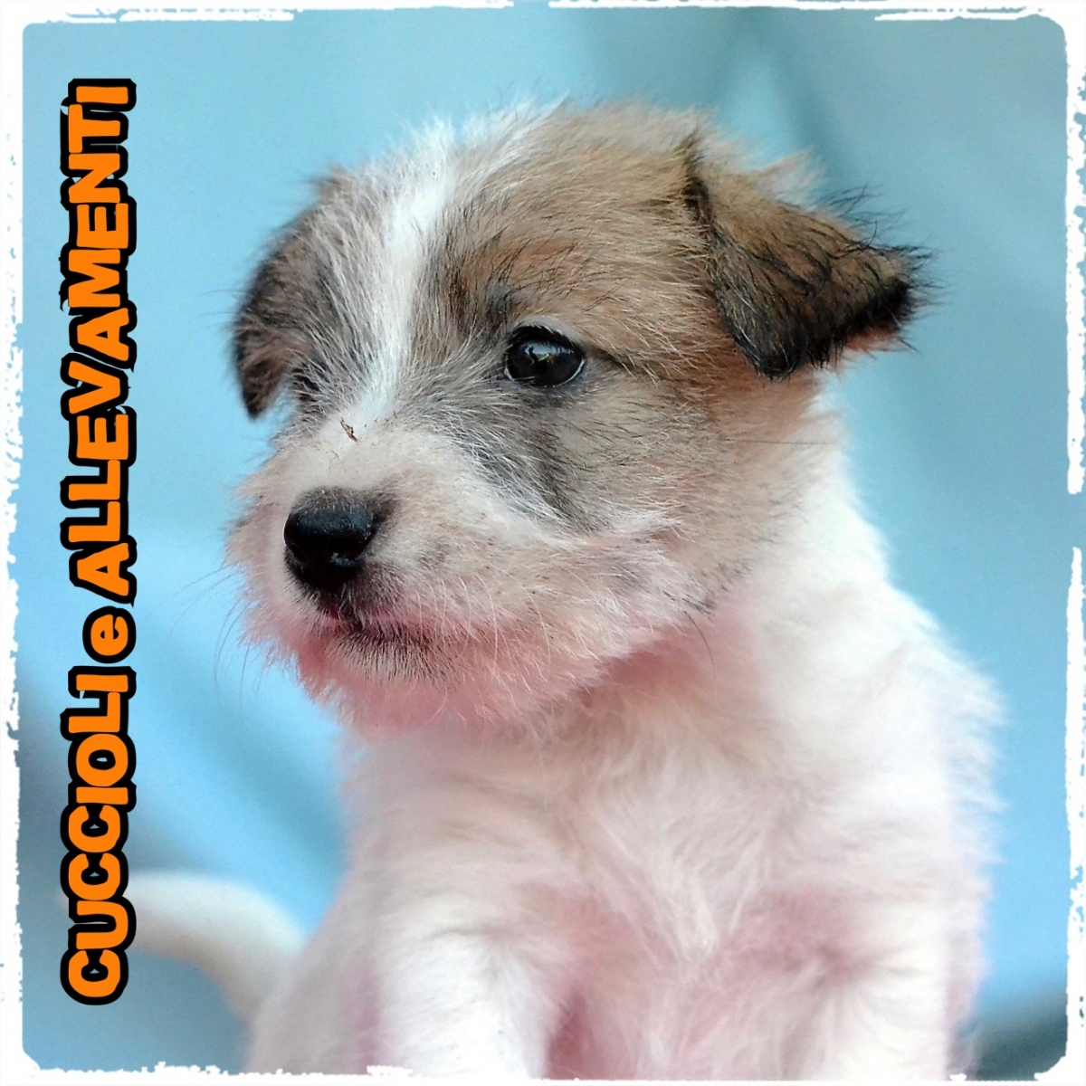 Jack Russell/Russel 23_wm