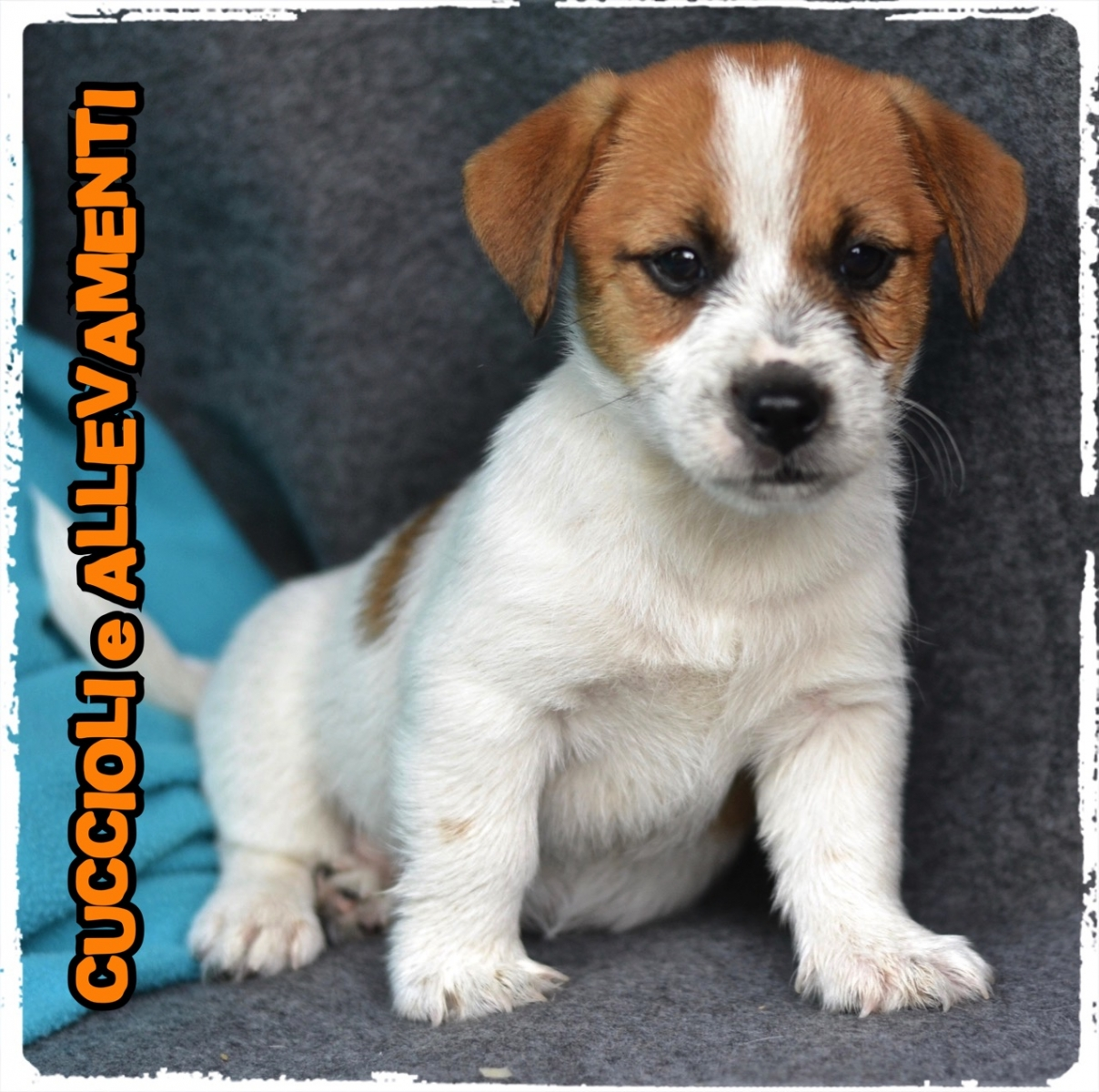 Jack Russell/Russel 30_wm