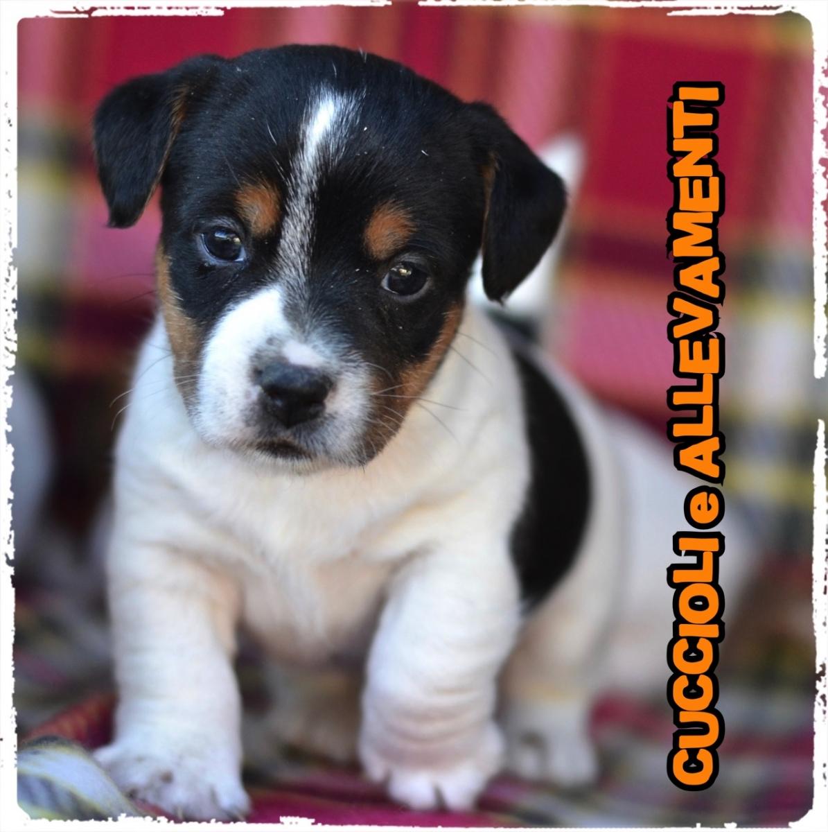 Cuccioli E Allevamento Jack Russell Terrier Cuccioli E Allevamenti