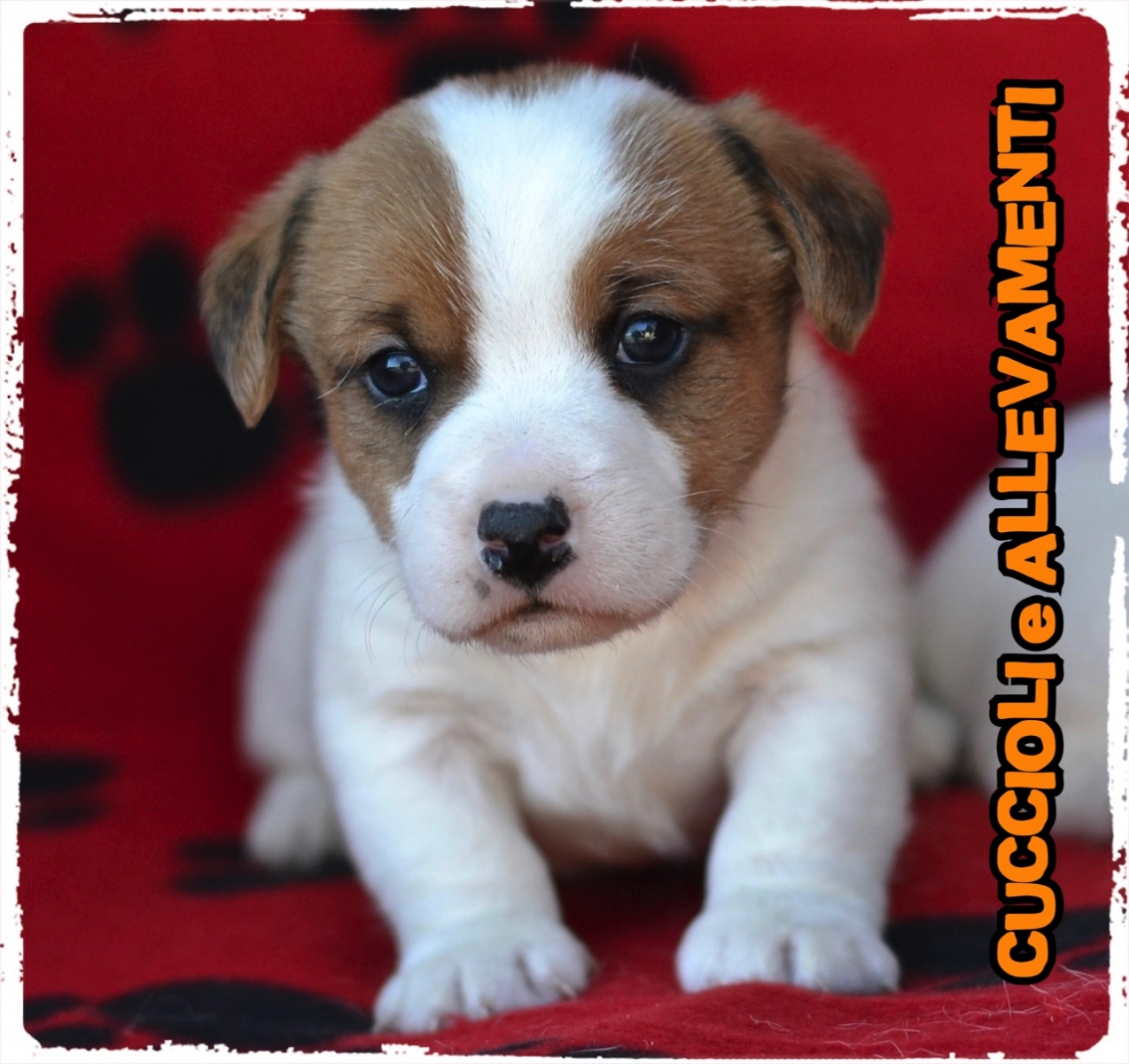 Jack Russell/Russel 37_wm