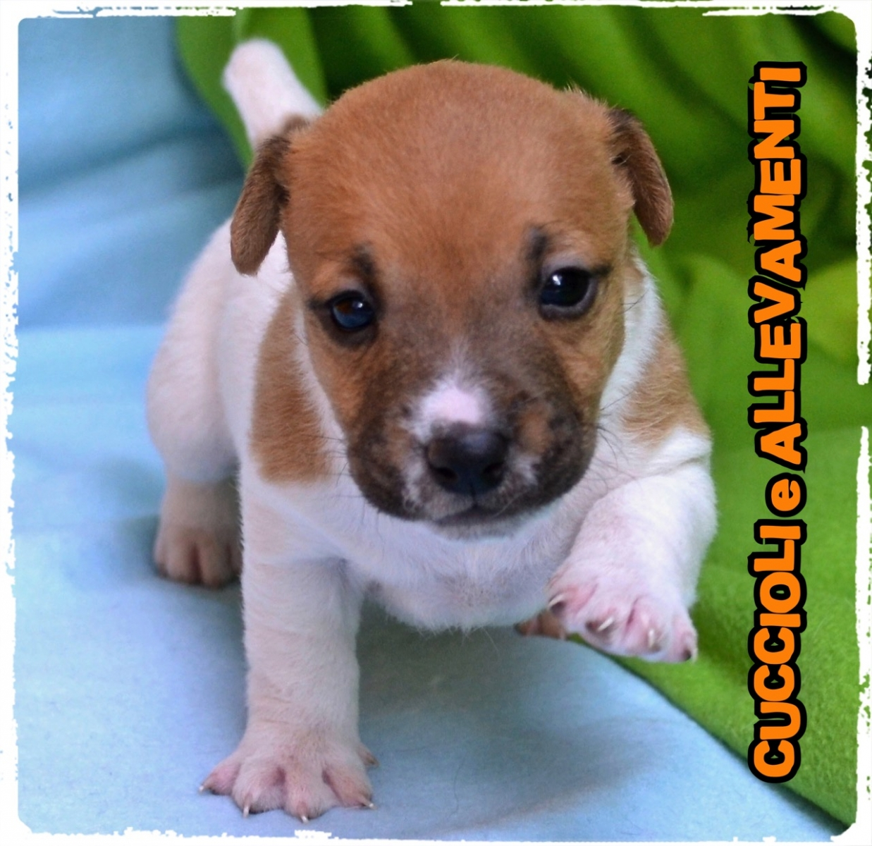 Jack Russell/Russel 3_wm