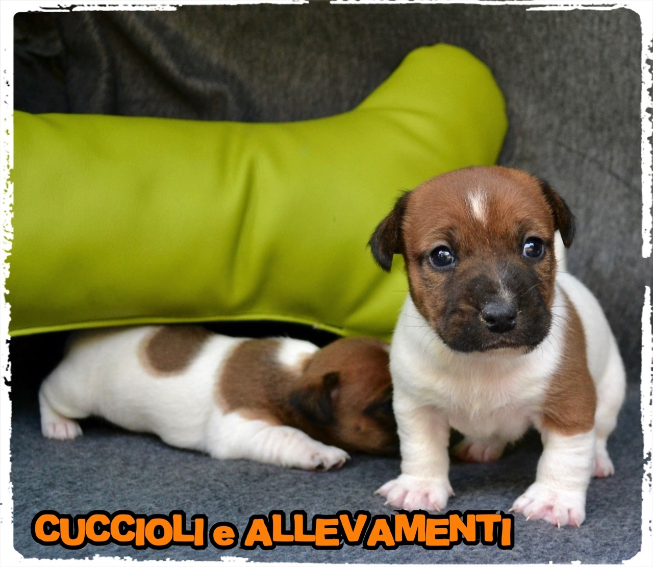 Jack Russell/Russel 40_wm