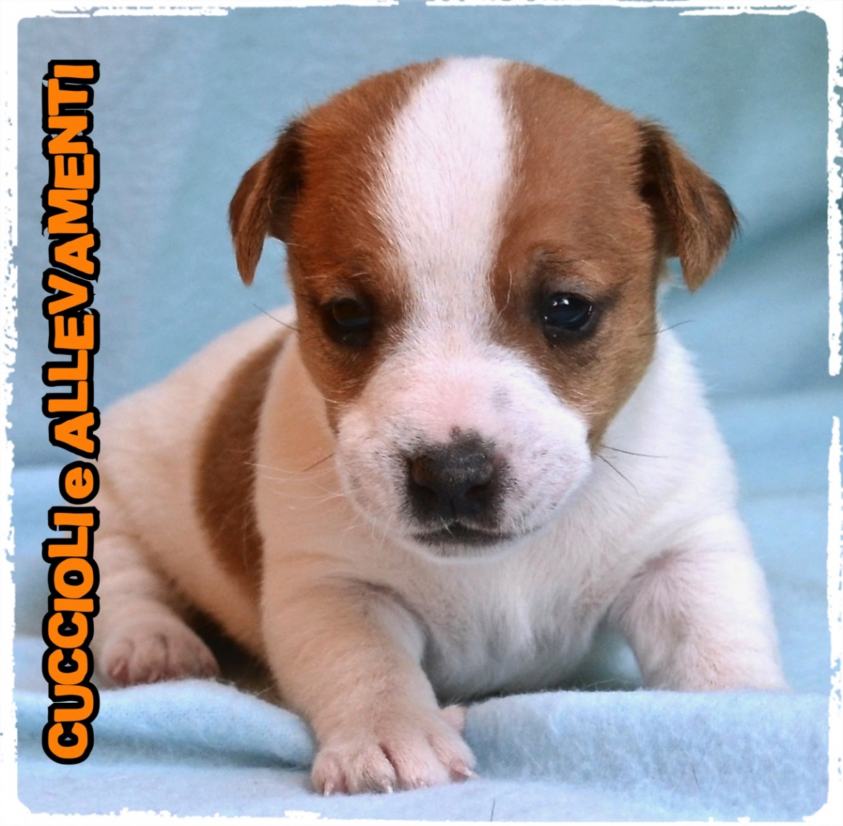 Jack Russell/Russel 4_wm