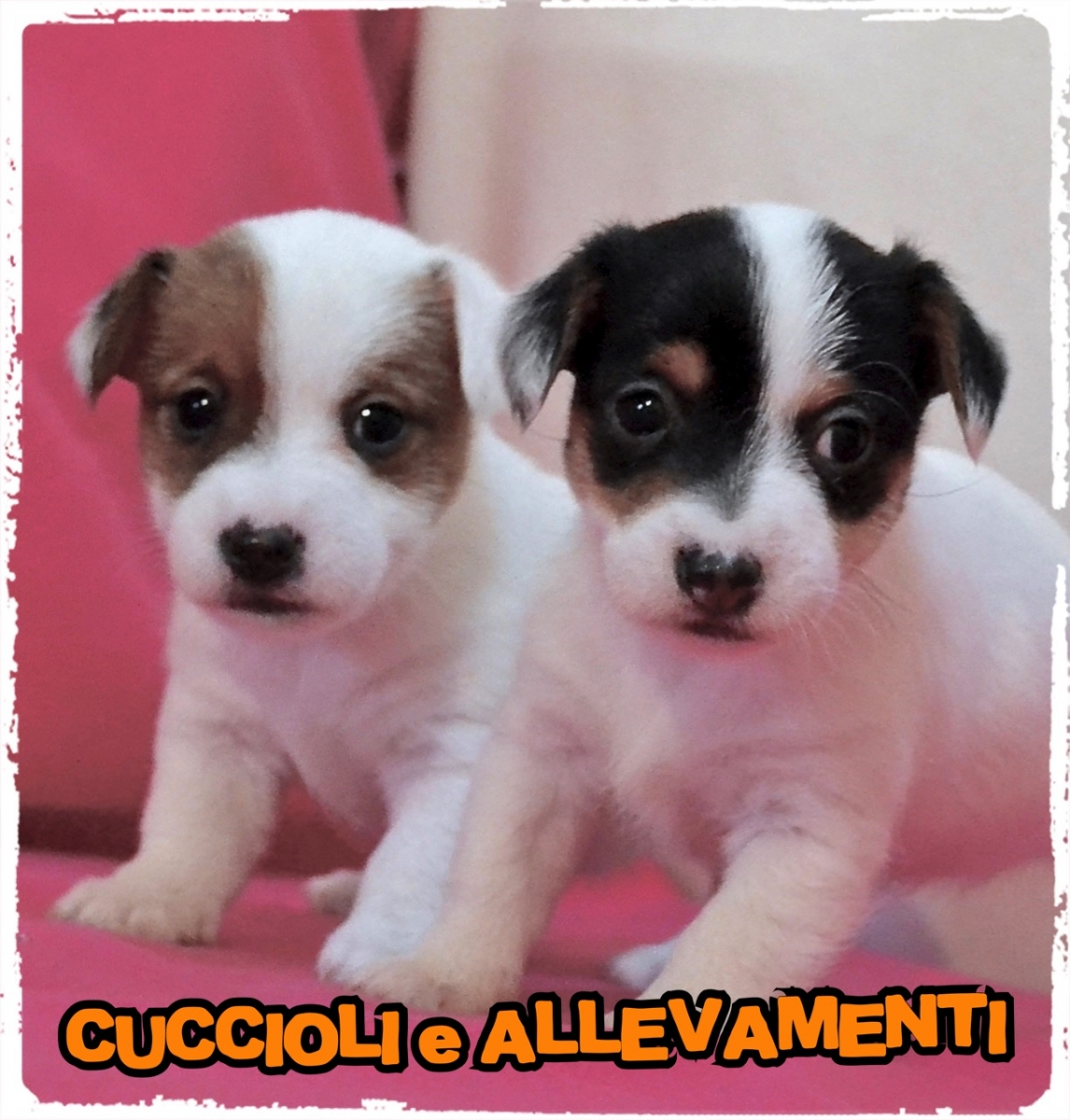 Jack Russell/Russel 7_wm