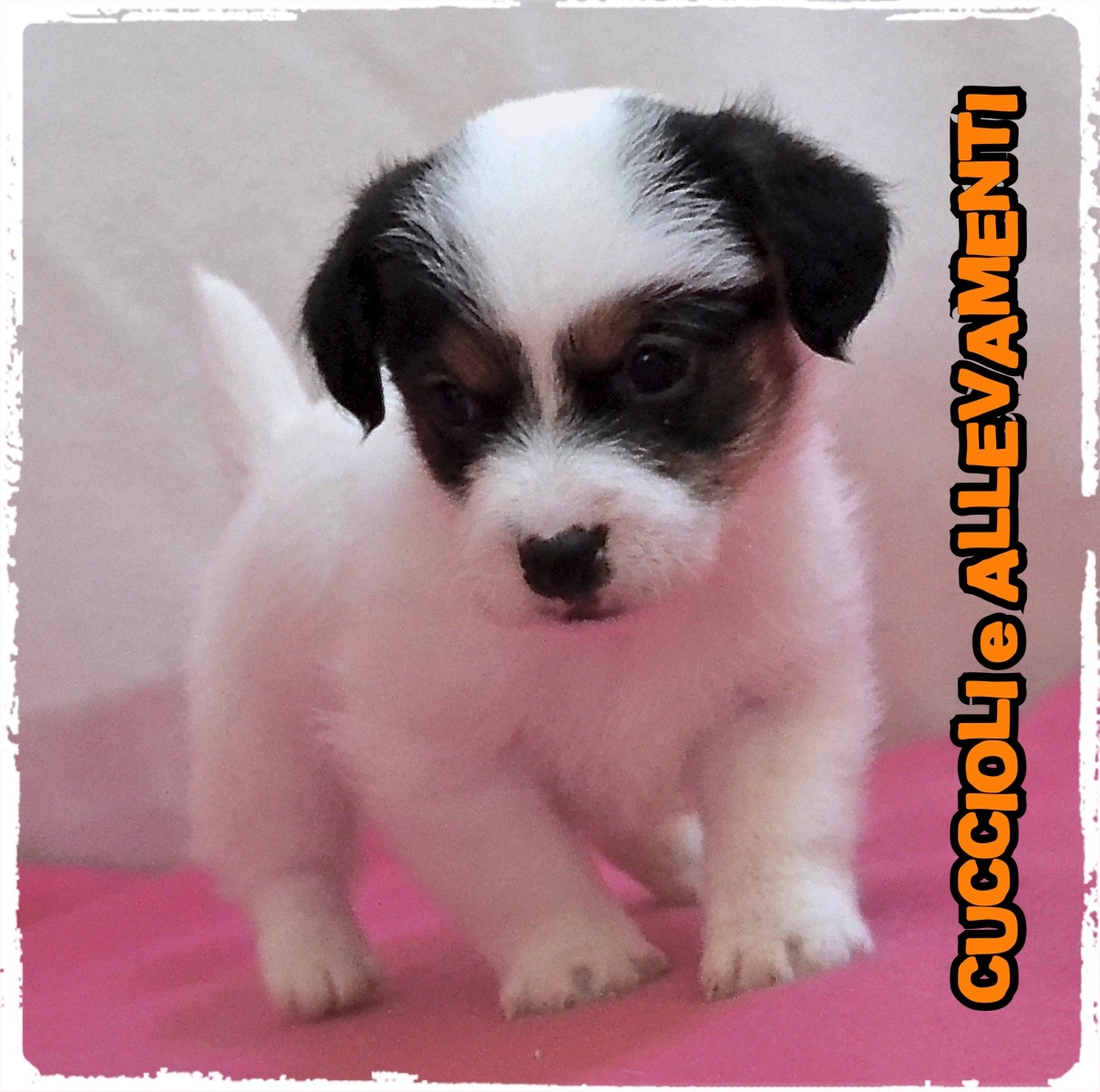 Jack Russell/Russel 8_wm