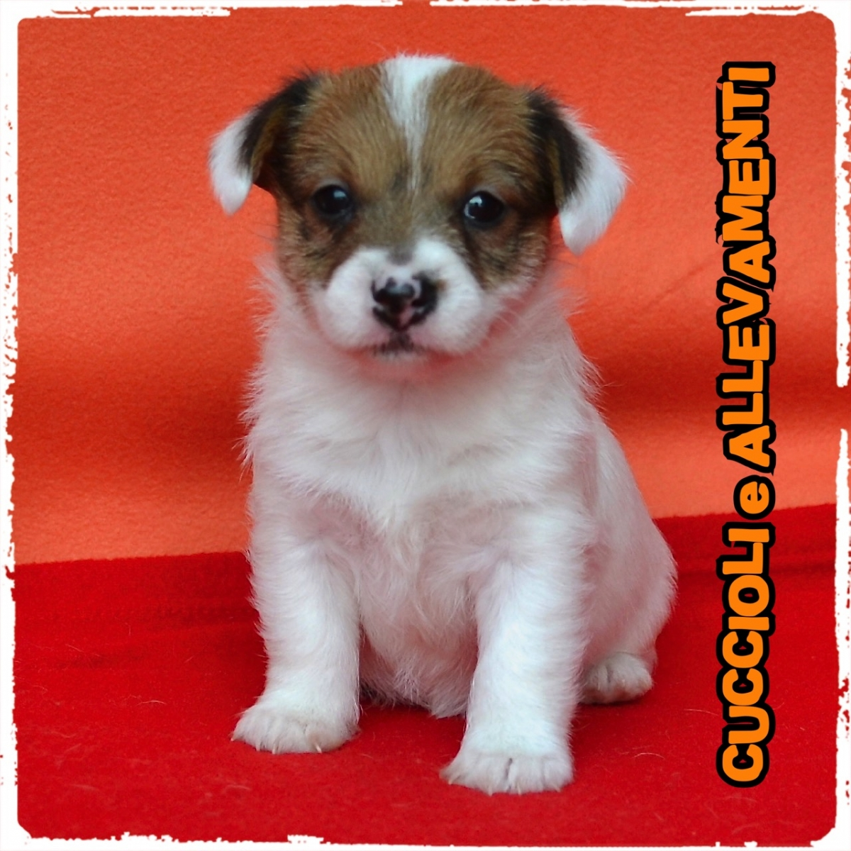 Jack Russell/Russel 9_wm