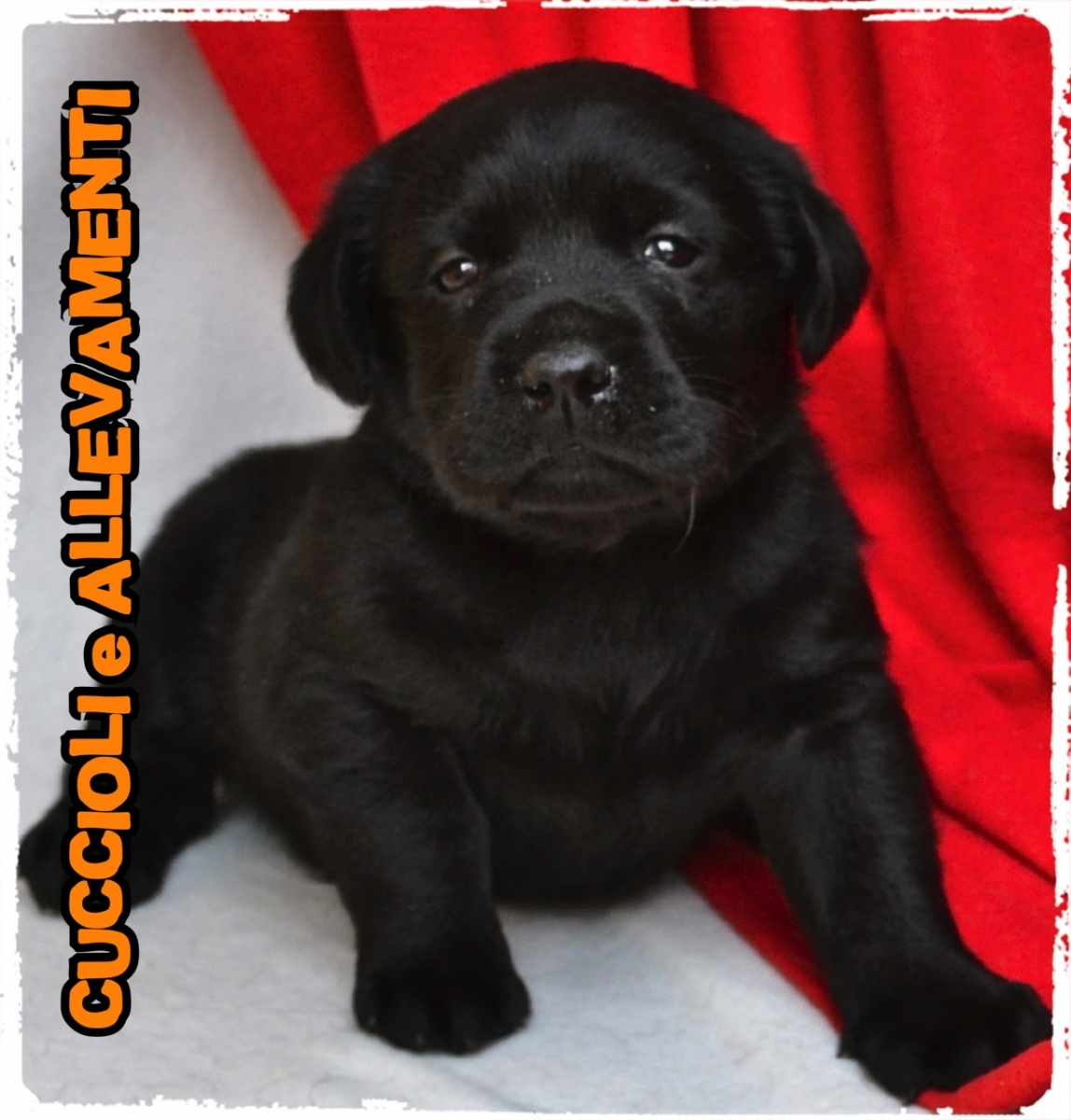 Labrador Retriever 10_wm