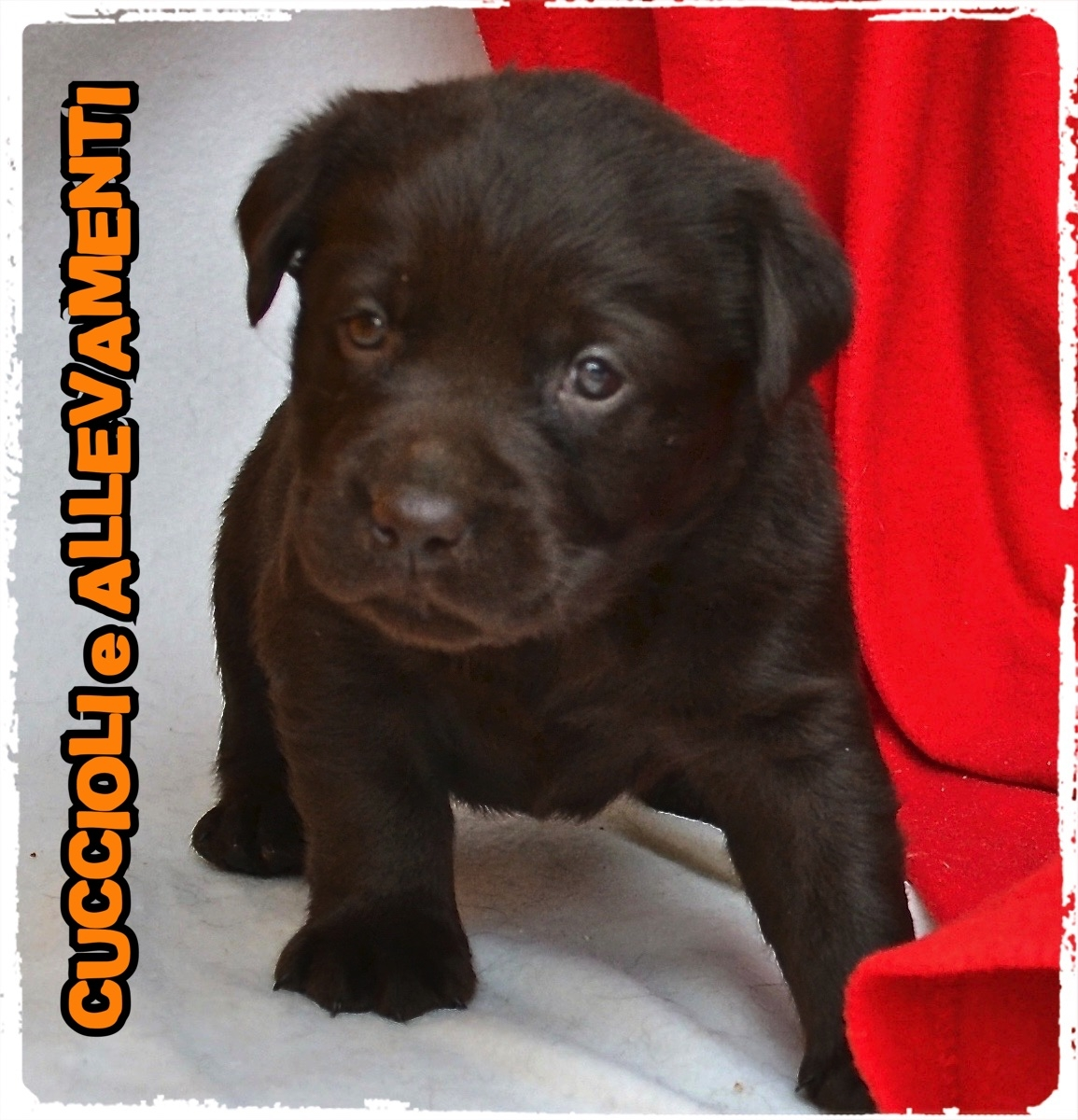 Labrador Retriever 11_wm