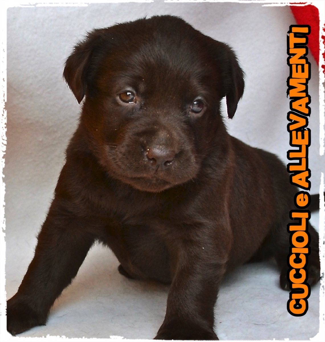 Labrador Retriever 12_wm