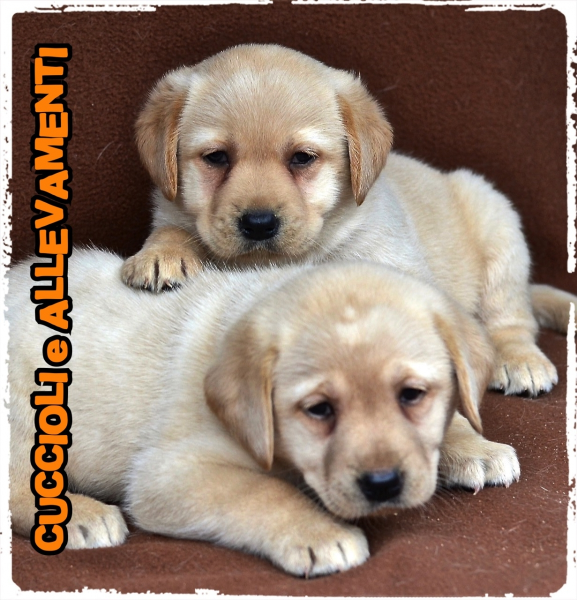 Labrador Retriever 13_wm