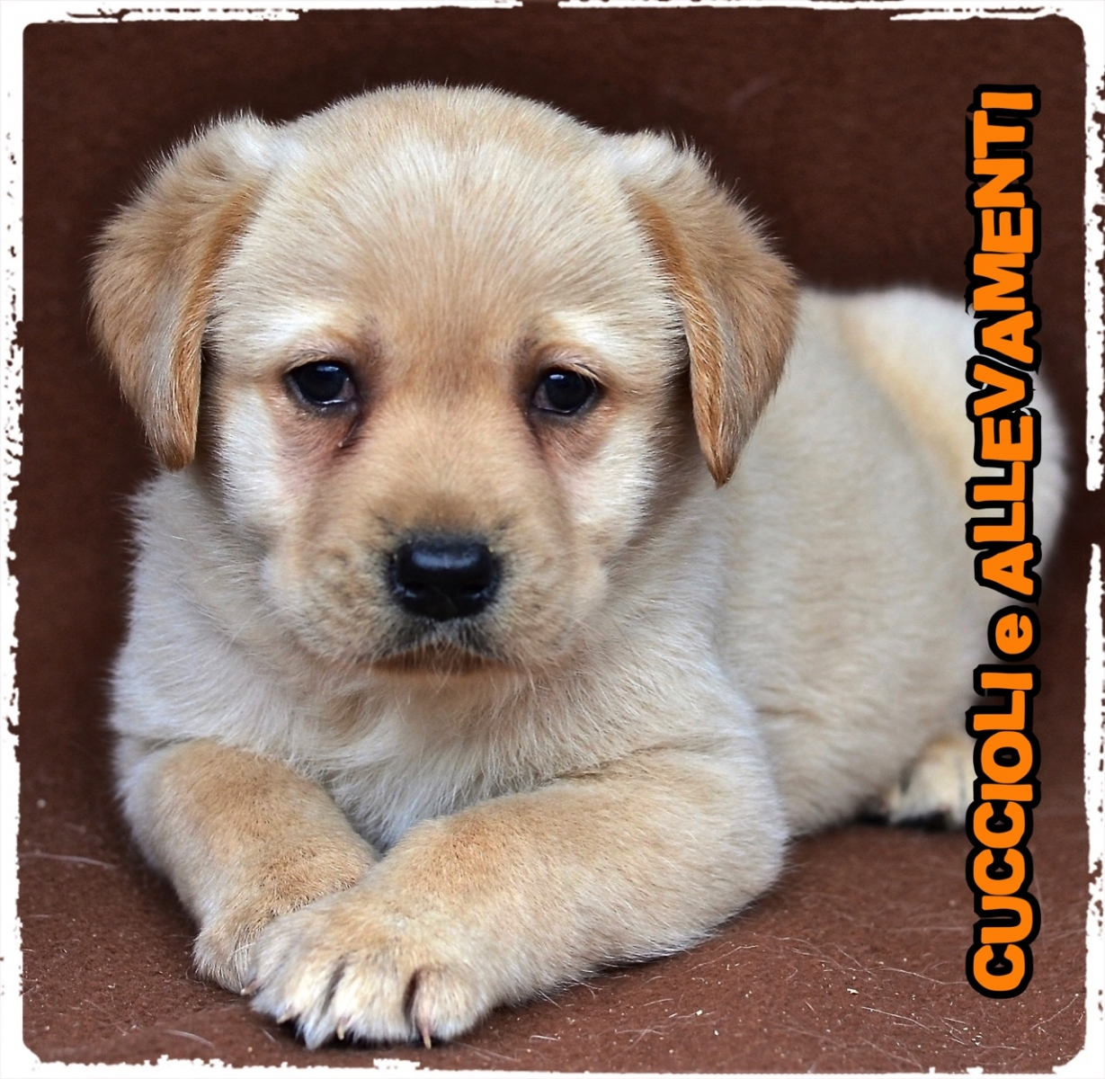 Labrador Retriever 14_wm