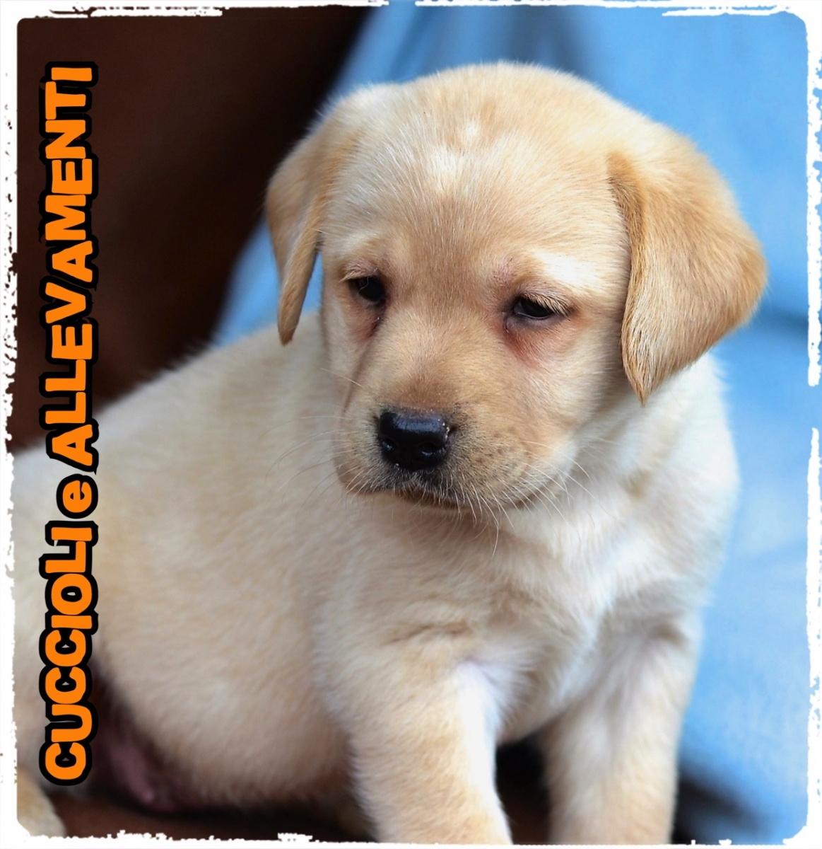 Labrador Retriever 15_wm