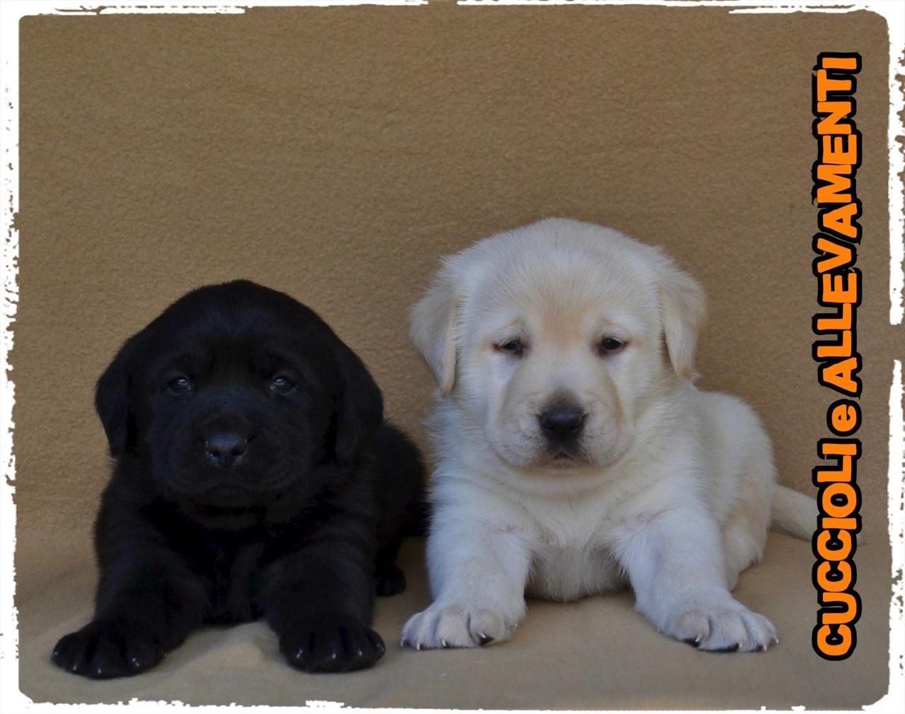 Labrador Retriever 16_wm